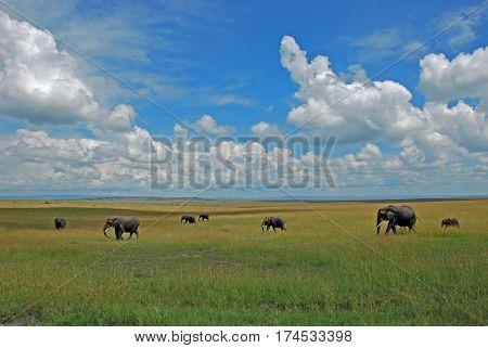 Elephant herd walking through the high green and yellow grass in the savannah at Masai Mara Nationalpark
