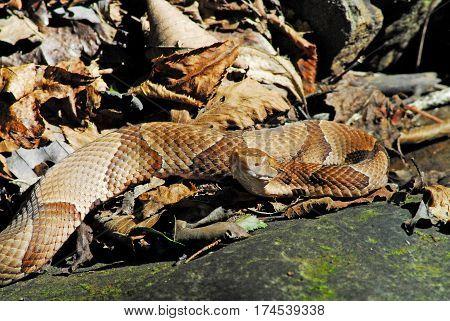 Copper Head Snake on Arkansas Trail Looking Straight Ahead