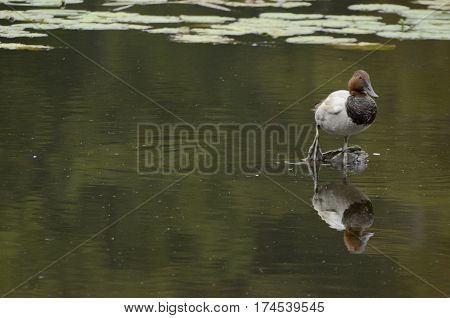 Canvas Back Duck Sitting on Log in a Lake