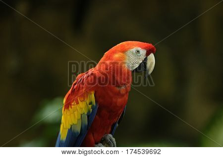 Red and Yellow Macaw Parrot Isolated in Zoo