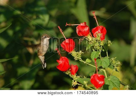 Humming Bird Flying Next to Red Flowers in Garden