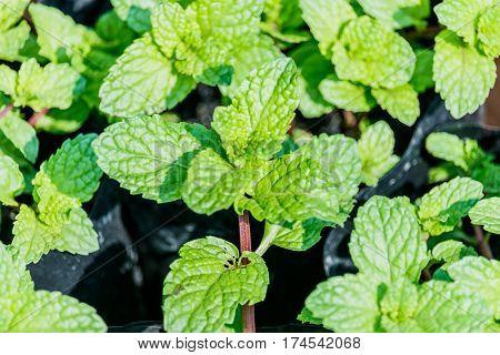 mint leaves growing in a garden. (mint peppermint spearmint)