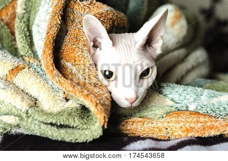 Sphinx cat in a blanket wrapped sick