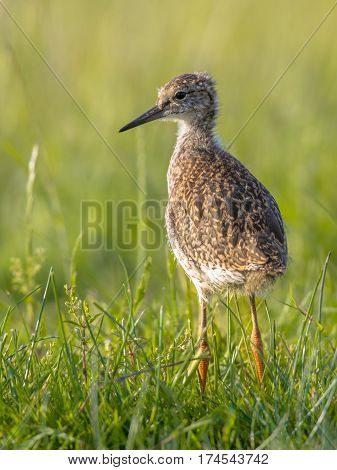 Black-tailed Godwit Wader Bird Chick Standing In Meadow
