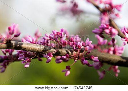 Cercis European, Or European Tsertsis, Or Judas Tree (lat Cercis Siliquastrum.) - Trees Or Shrubs, S