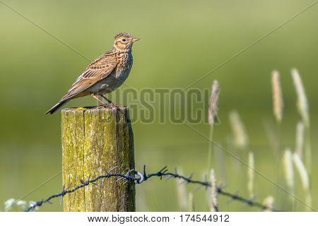 Eurasian Skylark In Agricultural Landscape
