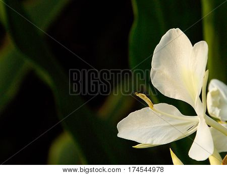 White Canna Lily Blooming in Garden on Green Background