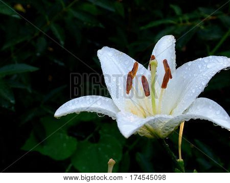 White LIly Blooming with Green Background With Large Stamen