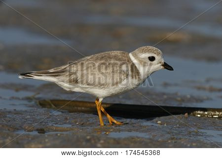 An endangered Piping Plover in winter plumage