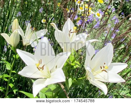 White lily flower in garden in Toronto Canada July 12 2014