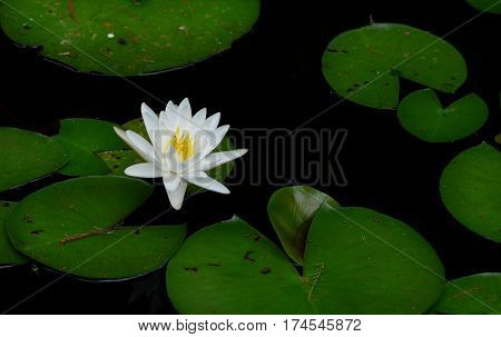 White Lily Blooming among lily pads in lake