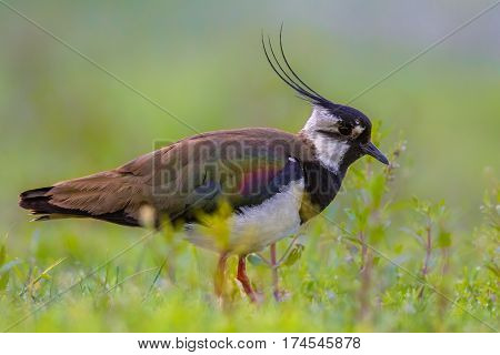 Male Northern Lapwing In Marshland Habitat With Vivid Green Background