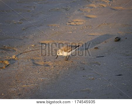 Sand Piper Walking on Beach in Gulf Shores Alabama