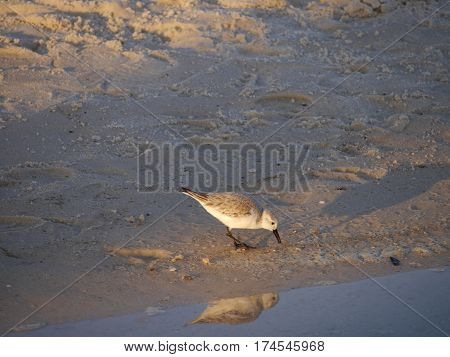 Sand piper reflection on beach in small pool of water