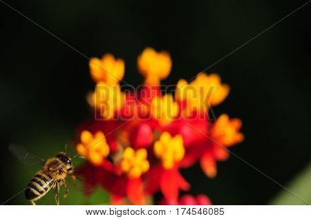 Honey Bee flying toward milkweed flower in a garden
