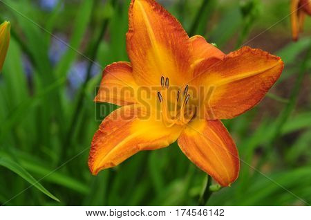 Orange and Yellow Lily with Large Stamen on Green Background