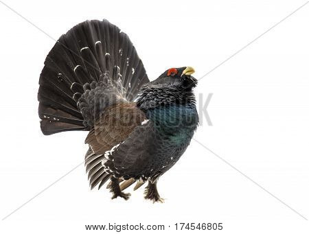 Western Capercaillie Wood Grouse On White Background
