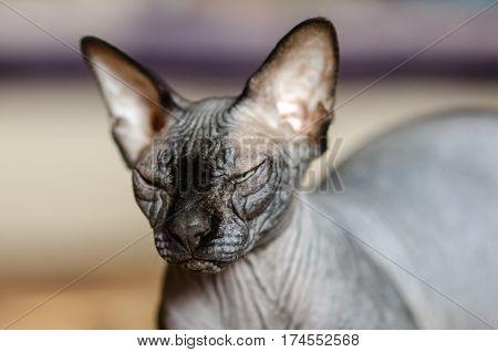 Bald Sphinx cat in the apartmentsquinted mad sensed danger