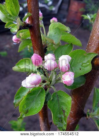 blooming Apple tree, spring nature plant, season bloom