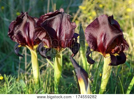 magnificent purple irises in a nature reserve on the shores of the Mediterranean Sea, Netanya, Israel
