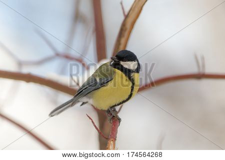 Portrait of a titmouse on a branch in winter