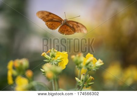 Beautiful Julia Butterfly Lepidoptra Nymphalidae Butterfly On Yellow Flowers