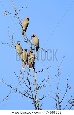Group of Bohemian Waxwing perched in a aspen tree on sunny winter day.