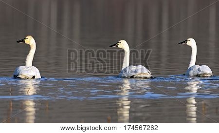 Three Tundra Swan swimming together on lake resting on their migration south