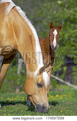 Palomino Mare with her cute Foal at spring pasture.