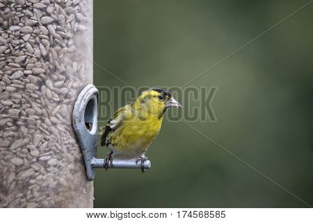 Beautiful Eurasian Siskin Spinus Spinus On Garden Bird Feeder