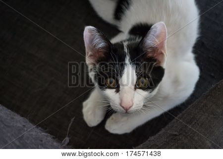 Cute black and white cat in the living room stock photo