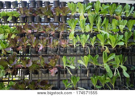 Vertical Garden Of Green Vegetable Wall stock photo