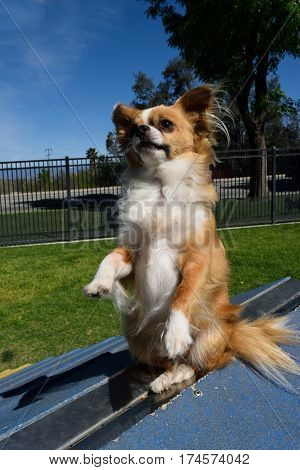 a small Chihuahua dog sits and begs on top of a ramp at a dog park