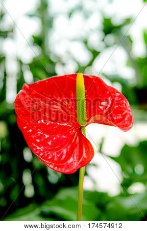 Image beautiful flower room red anthurium flowers