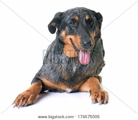 beauceron dog in front of white background