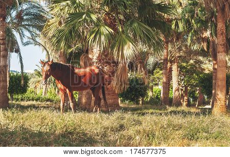 Dark Horse Stands On The Background Of Palm Trees At Sunset
