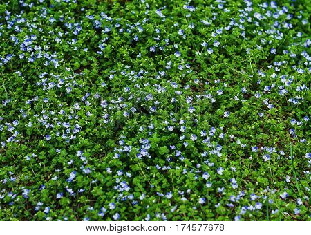 Blooming Forget-me-nots Myosotis Sylvatica, Arvensis Or Scorpion Grasses Texture.