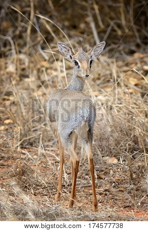 Dik-dik In The National Reserve Of Africa