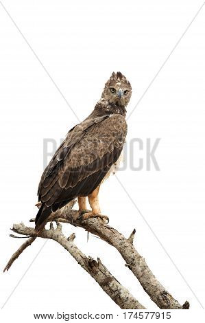 Tawny Eagle (aquila Rapax) Sitting On A Branch Tree