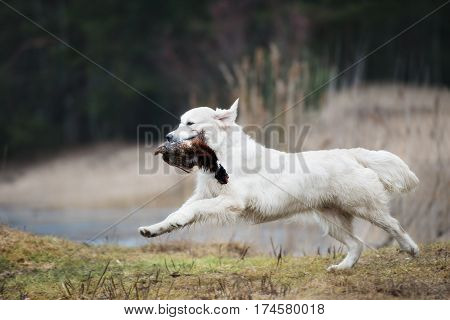 hunting golden retriever dog carrying a pheasant