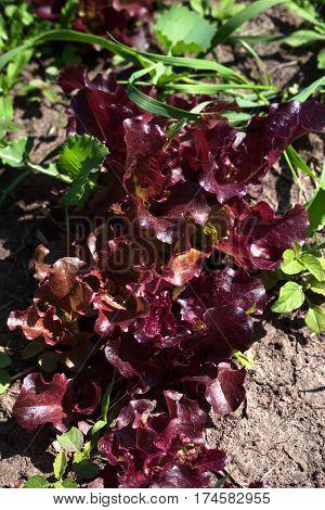 Red Salad Lettuce Growing In Garden