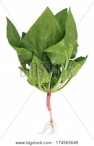 Fresh spinach bush with root isolated on white background