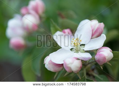The blossoming quince branch over green background