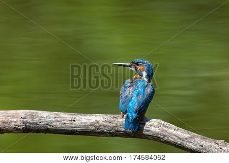 portrait of natural (common) male kingfisher (Alcedo atthis) sitting on branch in sunlight