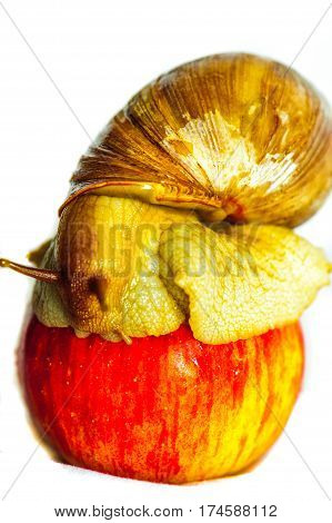 Single Snail on the apple with a beautiful shell,nice coloring,close up isolated on the white background