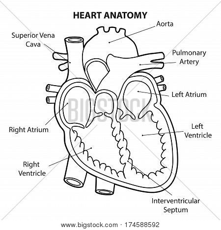 HEART ANATOMY cross section OUTLINE ILLUSTRATION  VECTOR