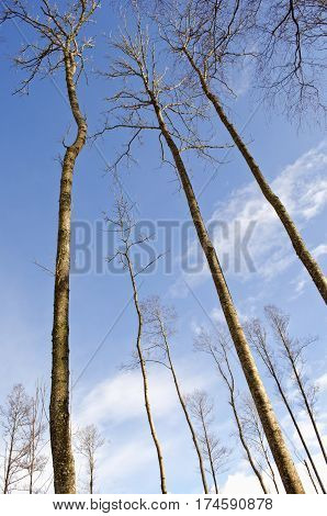 long high tree trunks on winter sky background in forest