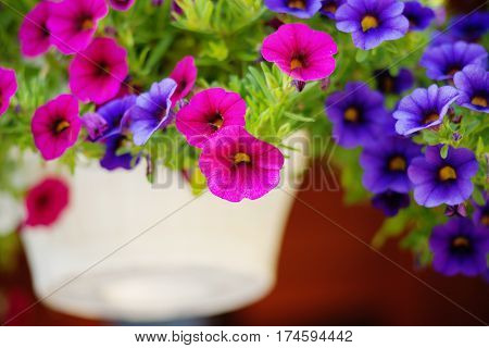 Outdoor photography of a colourful petunia flowers