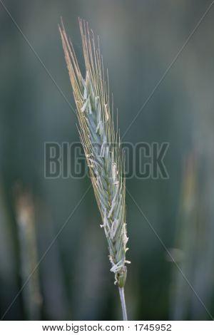 Rye In Bloom