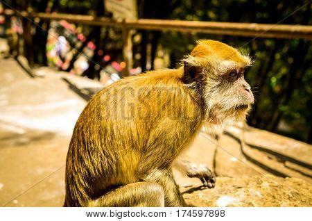 Macaque monkey in sunlight, kuala lumpur, malaysia